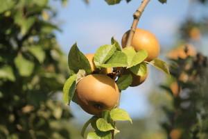 La nouvelle récolte pommes et poires est en cours !